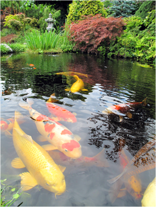 koi were developed from the common carp in the 1820s by the japanese and are called the jewels of the water garden because of their bright colorings - Japanese Koi Garden