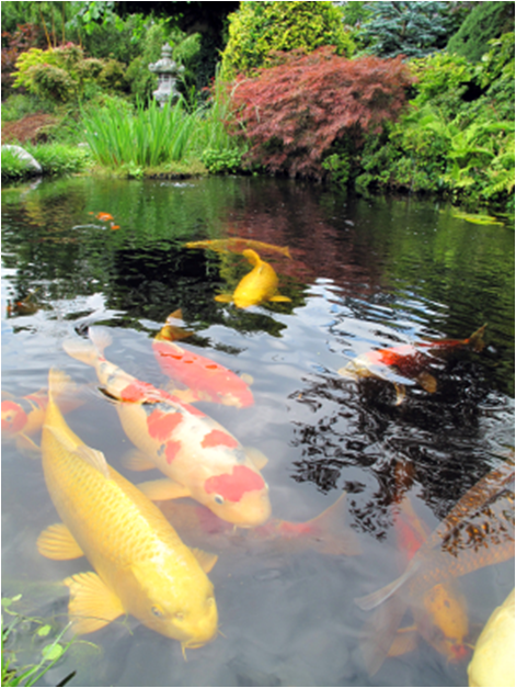 Koi Were Developed From The Common Carp In The 1820s By The Japanese And  Are Called The U201cjewelsu201d Of The Water Garden Because Of Their Bright  Colorings.